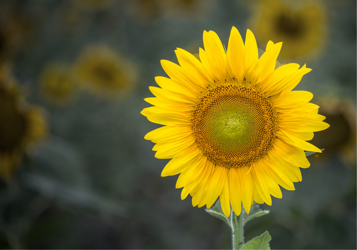 Loss & Hope Sunflower photo